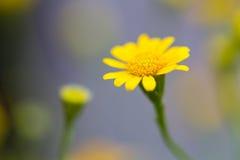 Желтый Zinnia стоковое фото