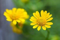 Желтый Zinnia стоковые изображения rf