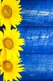 Желтыми загородка покрашенная солнцецветами Стоковое Изображение RF