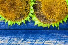 2 желтыми загородка покрашенная солнцецветами Стоковые Фотографии RF