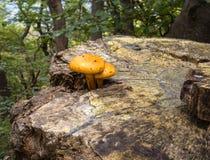 2 желтых гриба на пне дерева Стоковая Фотография RF