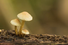3 желтых гриба Стоковая Фотография RF