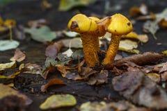 3 желтых гриба Стоковые Фотографии RF