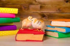 2 желтых живых цыплят с кучей книг Стоковое Фото