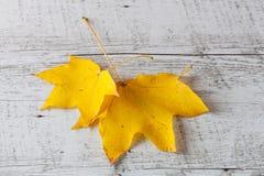 2 желтых листь клена белизна осени изолированная принципиальной схемой Стоковые Фотографии RF