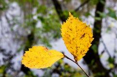 2 желтых листь Стоковые Изображения RF