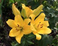 3 желтых лилии в саде Стоковое фото RF