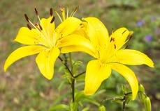 2 желтых лилии Стоковая Фотография RF