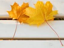 2 желтых кленового листа на стенде Стоковое Изображение