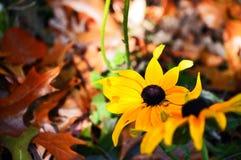 2 желтых маргаритки окруженной к падение Стоковая Фотография