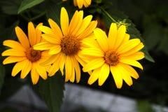 3 желтых маргаритки Стоковое Изображение RF
