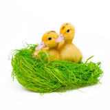 2 желтых маленьких утки Стоковая Фотография