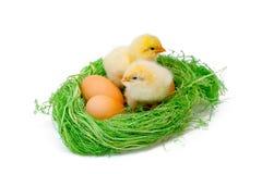 2 желтых маленьких цыплят Стоковое фото RF