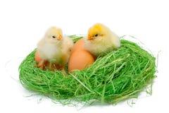 2 желтых маленьких цыплят Стоковая Фотография RF