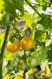 2 желтых малых томата Стоковое Изображение