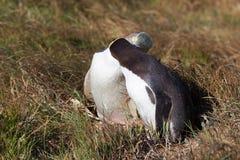 2 желтых наблюданных пингвина показывая привязанность Стоковые Фотографии RF