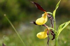 2 желтых орхидеи Стоковые Изображения