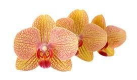 3 желтых орхидеи Стоковая Фотография RF