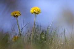 2 желтых одуванчика против голубого неба Стоковые Изображения RF
