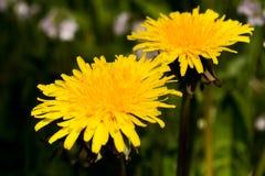2 желтых одуванчика Стоковые Фотографии RF