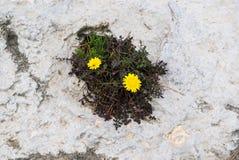 2 желтых растущего цветков от утеса, одичалая природа, наблюдает в утесах Стоковое Изображение RF