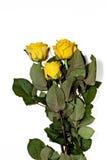 3 желтых розы на белой предпосылке Стоковые Фотографии RF