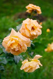 3 желтых розы чая в саде после дождя Стоковое фото RF