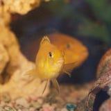 2 желтых рыбы Стоковая Фотография