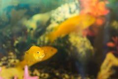 3 желтых рыбы Стоковые Фото