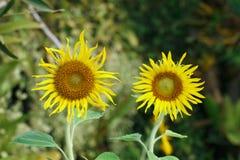 2 желтых солнцецвета для картины Стоковое Фото