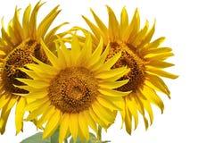 3 желтых солнцецвета Стоковое Фото