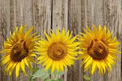 3 желтых солнцецвета Стоковое фото RF