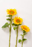 3 желтых солнцецвета Стоковое Изображение RF
