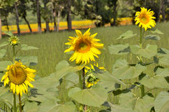 3 желтых солнцецвета Стоковое Изображение