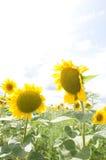 2 желтых солнцецвета Стоковое фото RF