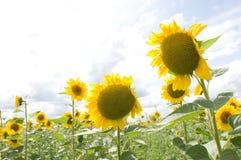 2 желтых солнцецвета Стоковая Фотография