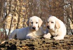 2 желтых счастливых щенят labrador в саде Стоковые Изображения RF