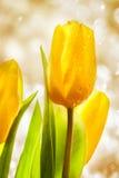3 желтых тюльпана весны Стоковое Изображение