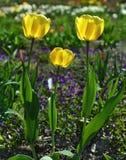 3 желтых тюльпана в весеннем времени Стоковые Изображения