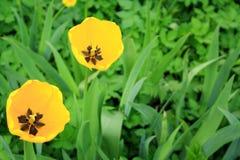 2 желтых тюльпана в зеленом цвете Стоковое Изображение