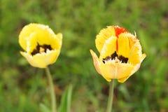 2 желтых тюльпана в саде Стоковые Фото