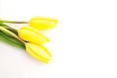 3 желтых тюльпана Стоковые Изображения RF