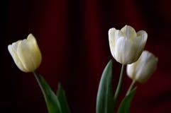 3 желтых тюльпана на темной предпосылке Стоковое Изображение RF