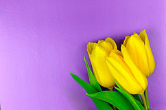 3 желтых тюльпана на фиолетовой предпосылке Стоковые Изображения RF