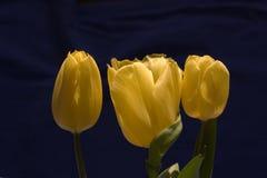 3 желтых тюльпана на черной предпосылке Стоковая Фотография RF