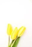3 желтых тюльпана с космосом экземпляра Стоковые Фото