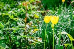 2 желтых тюльпана Стоковое Изображение RF