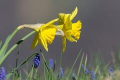 2 желтых цветеня (одичалого) daffodil (pseudonarcissus Narcissus) Стоковое Изображение