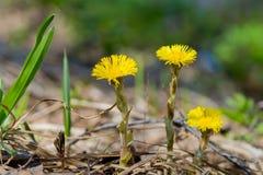 3 желтых цветка весны среди вянуть травы Стоковые Фото