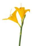 2 желтых цветка лилии изолированного на белизне Стоковая Фотография